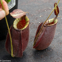 Nepenthes rafflesiana x ampullaria 'Black Miracle', CAR-0121