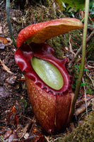 Nepenthes rajah, Thomas Alt
