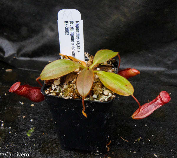 Nepenthes rajah x (burbidgeae x edwardsiana)