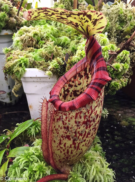 Nepenthes rajah x burbidgeae (x Alisaputrana)