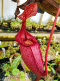 Nepenthes rajah x veitchii