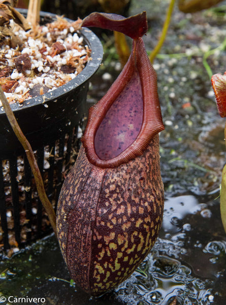 Nepenthes rigidifolia
