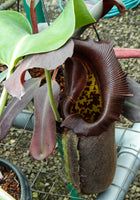 Nepenthes robcantleyi, BE-3517