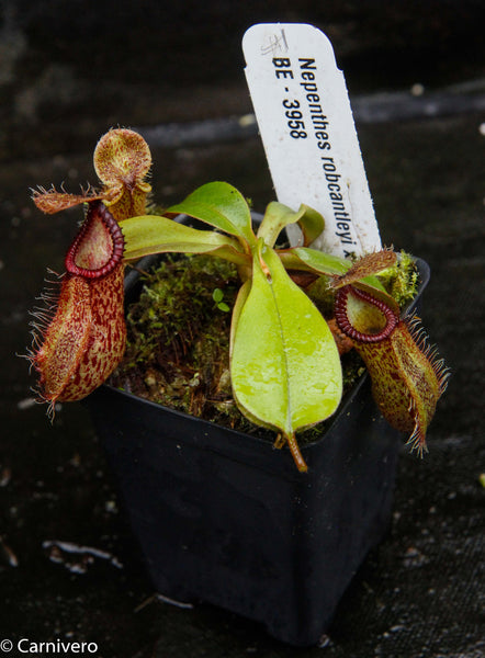 Nepenthes robcantleyi x hamata, BE-3958