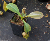 Nepenthes robcantleyi x (aristolochioides x spectabilis) BE-3862