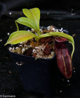 Nepenthes robcantleyi x ovata