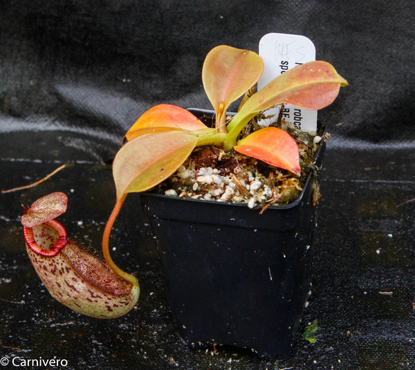 Nepenthes robcantleyi x spectabilis, BE-3754