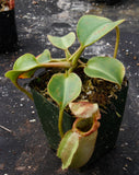 Nepenthes robcantleyi x veitchii, BE-3933