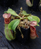 "Nepenthes robcantleyi x veitchii ""Sungai Samba"", BE-3700"