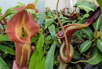 Nepenthes robcantleyi x lowii