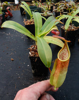 Nepenthes sanguinea D4