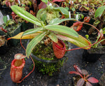 Nepenthes sibuyanensis variegated