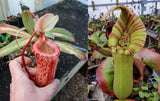 "Nepenthes sibuyanensis ""Patches"" x truncata (c) - Giant, CAR-0029"