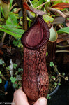 Nepenthes sibuyanensis x hamata, BE-3562