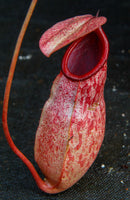 Nepenthes sibuyanensis x merrilliana, BE-3542