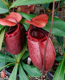 Nepenthes sibuyanensis x merrilliana, BE 3542