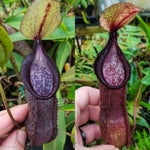 Nepenthes singalana variegated x hamata, CAR-0138