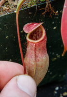 Nepenthes smilesii x sibuyanensis, CAR-0010