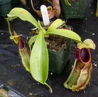 Nepenthes spathulata, BE-3175