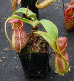 Nepenthes spathulata x spectabilis, BE-3314