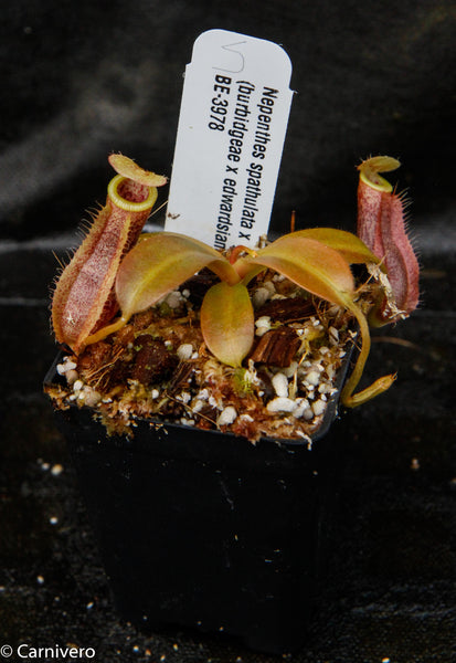 Nepenthes spathulata x (burbidgeae x edwardsiana)