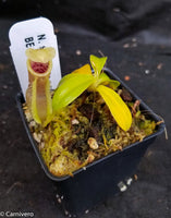 Nepenthes spathulata x campanulata BE-3796