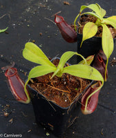 Nepenthes spathulata x gymnamphora, BE-3791