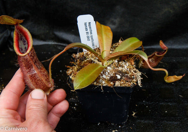 Nepenthes spathulata x hamata, BE-3843