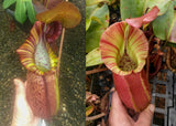 "Nepenthes (spathulata x spectabilis) ""BE Best"" x veitchii ""Pink Candy Cane"", CAR-0052"