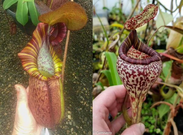 "Nepenthes (spathulata x spectabilis) ""BE Best"" x vogelii, CAR-0051"
