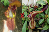 "Nepenthes (spathulata x spectabilis) ""BE Best"" x lowii, CAR-0065"