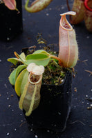 Nepenthes spathulata x veitchii, BE-3648