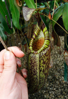 Nepenthes spectabilis, BE-3322