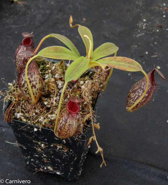 Nepenthes spectabilis x aristolochioides, BE-3663