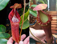 Nepenthes (spectabilis x lowii) x edwardsiana, CAR-0100