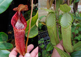 Nepenthes (spectabilis x lowii) x hamata, CAR-0076