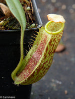 Nepenthes spectabilis x platychila BE-3760