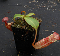 Nepenthes spectabilis x veitchii, BE-3636