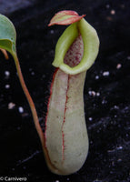 Nepenthes Splendid Diana x truncata