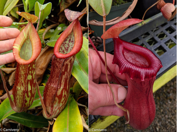 Nepenthes 'Splendid Diana' x ventricosa red, CAR-0019
