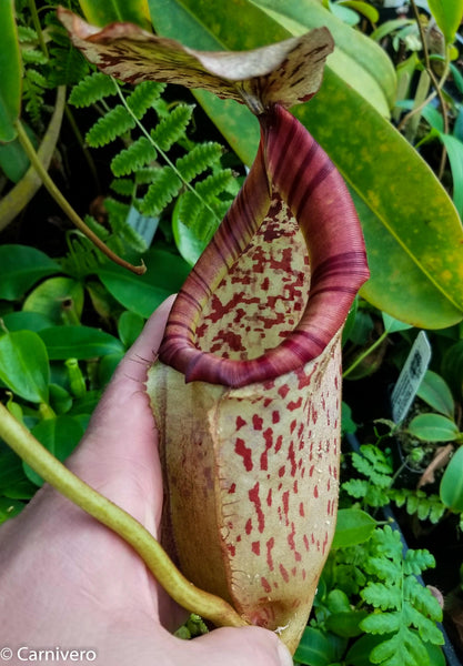 Nepenthes sumatrana x burbidgeae