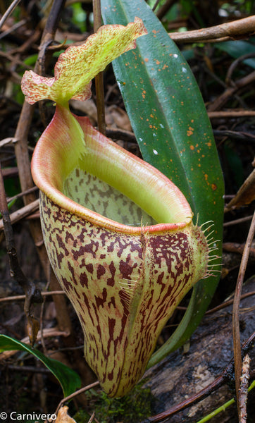 Nepenthes talangensis BE-3835