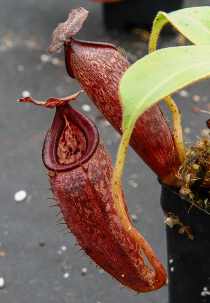 Nepenthes talangensis x glandulifera, BE-3665