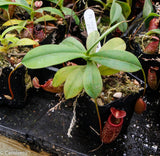 Nepenthes talangensis x sibuyanensis BE-3641