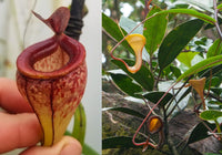 Nepenthes tenuis x dubia