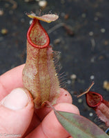 Nepenthes thorelii x hamata