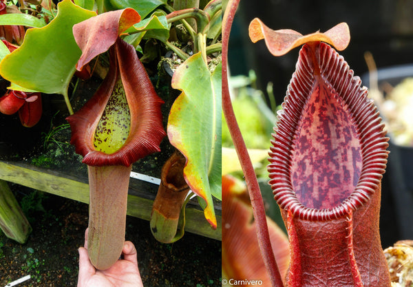 "Nepenthes truncata (d) x (singalana x hamata ""hairy red""), CAR-0048"