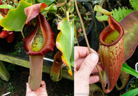 Nepenthes truncata (d) x mira, CAR-0075