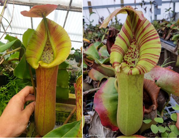 Nepenthes truncata (D x C)