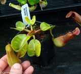 Nepenthes truncata Pasian Red